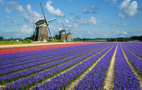 tulip tour holland